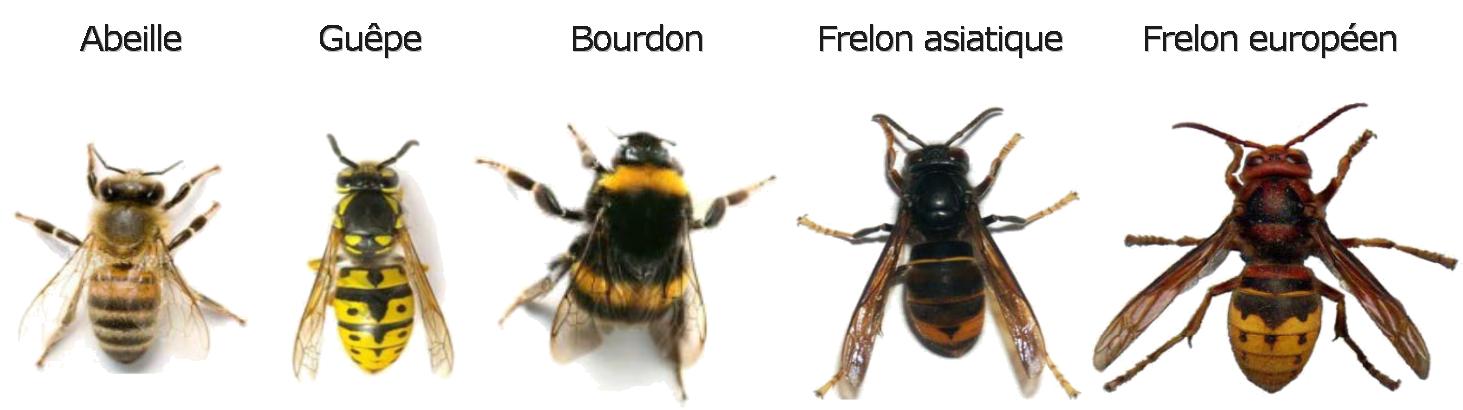 Comparaison de l'abeille, la guêpe, le bourdon, le frelon asiatique et le frelon européen