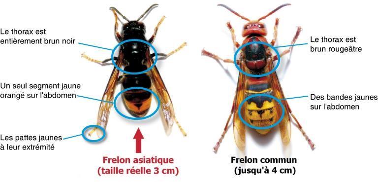 Comparaison du frelon asiatique et du frelon européen